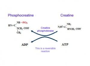 Phosphocreatine